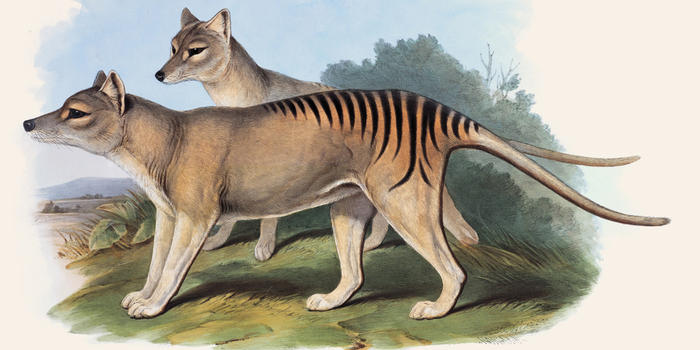 natural histories Goulds tasmanian-tiger-natural-histories_