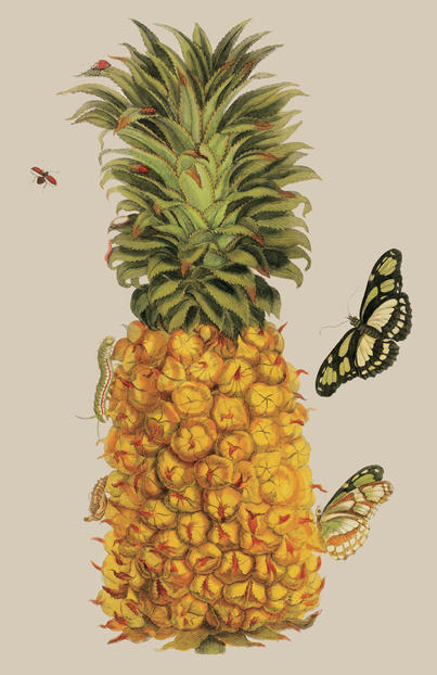 natural-histories-maria-sibyll-merian-pineapple